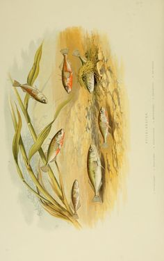 Sticklebacks. British fresh water fishes v.1 London [etc.] :W. Mackenzie,[1879]. Biodiversitylibrary. Biodivlibrary. BHL. Biodiversity Heritage Library