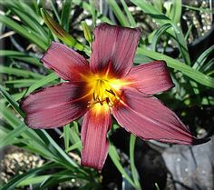 SPRING FEVER DAYLILIES: Nite of Passion