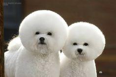 poof helmet hair, dog lovers, pet, bichon frise, alien dog