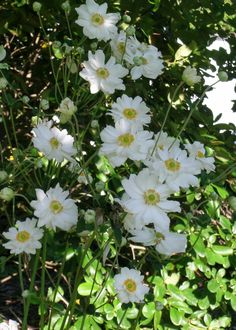 Japanese Anemones for a shade garden