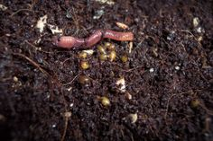 When worms become parents... reproduction in the composting worm bin!