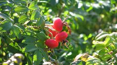 Seine River Park, Paris....a little big for currants..anyone know what type of bush this is?