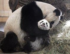 Mom, you're squishing me... the doors, anim, gift cards, big bear, bear hugs, panda bear, baby bears, cub, pandas