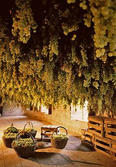 Only in Italy - A Ceiling dripping with Wine Grapes, Podere il Giangio, Gambellara, Veneto, Italy by Francesco Zonin