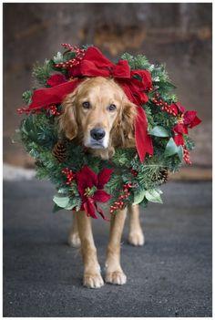 christmas wreaths, christmas cards, christmas photography, golden retrievers, holiday cards, pet, xmas card, puppi, dog