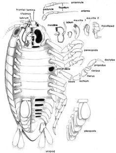 Diagram Of Anglerfish. Diagram. Find Image About Wiring Diagram ...