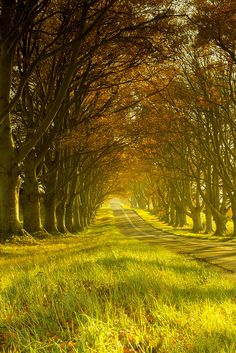 Kingston Lacy Beech Avenue in Dorset / England -- How wonderful it would be to take a walk here!