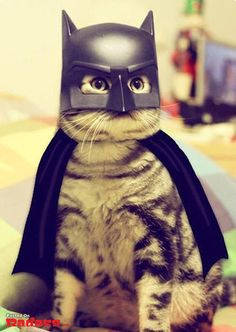 batcat, the darkness, cat women, halloween costumes, funny pictures, pet, cat costumes, knight, happy halloween