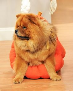 Simple Pet Halloween Costume: Pumpkin