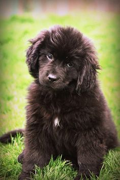 Newfoundland puppy. So fluffy and fuzzy. #dogs