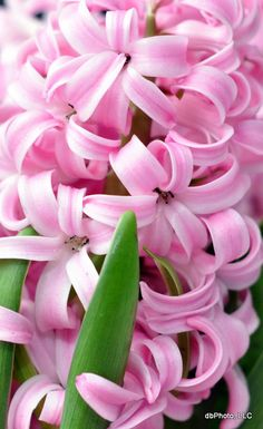 Hyacinth - ©Denise Bierach. These babies are my favorite! Anytime I pass by one, I always have to stop to breathe in its gorgeous scent! <3