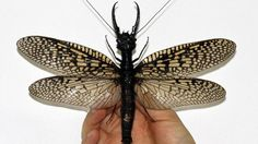 Check Out World's Largest Bug