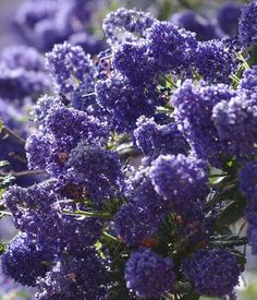 Ceanothus Concha has many colors, shades, and  tones. Some years the plants are more reddish purple, some years bright blue, some years larg...