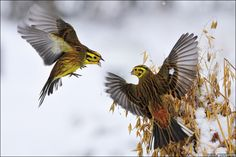 The yellowhammer males fought over ownership of the oats