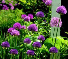 Allium in the garden