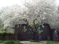 Beautiful white flowers on a snow crab apple tree. Looking for a showy Spring tree? This is it! #tree #garden #crabapple