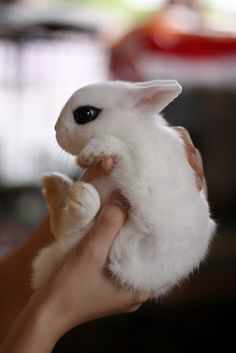 Dwarf hotot Rabbit. Check out that eyeliner! I would love to have a bunny! So cute!