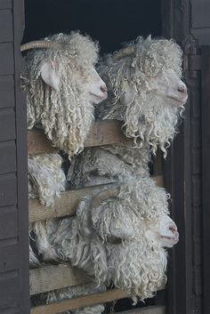 Have you any wool? Yup, three bags full...