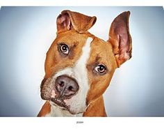 Pictures of Zooey a Staffordshire Bull Terrier Mix for adoption in New York, NY who needs a loving home.