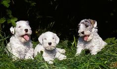 Sealyham Terrier Puppy Dog.