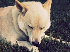 Canaan Dog Laying Down