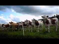 A jazz-loving flink of cows.