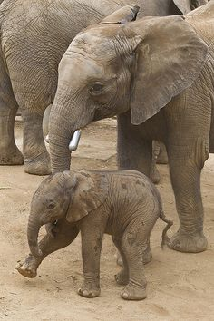 Elephant calf at the San Diego Zoo Safari Park