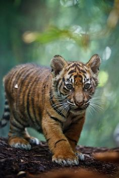 tiger cub on the purrr-owl