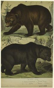 Black bear ; Brown bear.