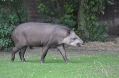 A Brazilian Tapir at Fota Wildlife Park