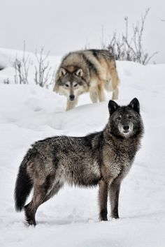 wild, animals, friends, winter, wolv, snow, band of brothers, lone wolf, beautiful creatures