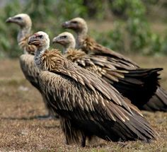 The White-rumped Vulture (Gyps bengalensis). The species was present in large numbers, in India but is now endangered. At one time, it was the most numerous of the vultures in India. The greatest threat comes from farmers' use of the anti-inflammatory drug diclofenac to treat their livestock, which causes renal failure in vultures that feed on cattle carcasses. Trees on which they regularly roost are often painted white with their excreta and this acidity often kills the trees.