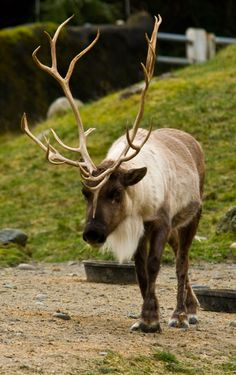 Reindeer at Point Defiance Zoo & Aquarium in Tacoma, WA. Learn more at www.pdza.org.