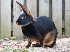 Tan rabbit breed