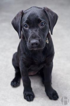 , Black Labrador Retriever Puppy