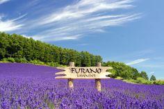 Lavender Fields, Furano, Japan