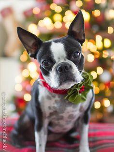 tartan christma, christma creativ, dog