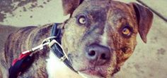 A Woman Dying of Cancer Seeks a New Home for Her Best Friend, Sherlock the Pit Bull   Dogster