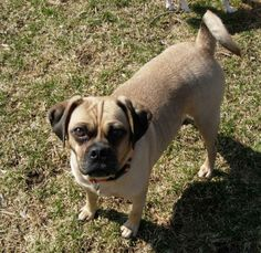 Chippie came to us as an owner surrender.  She is a very cute and sweet and very smart Puggle!  She is 3 years old and weighs about 25 pounds.Chippie is house trained, crate trained, walks on a leash and loves the car but likes to sit on your lap...