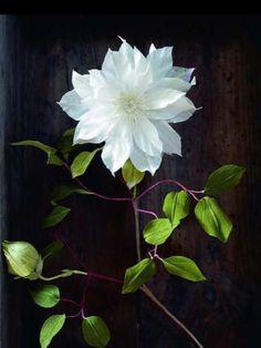 Crepe paper Clematis Botanical by Berkeley's Anandamayi Arnold