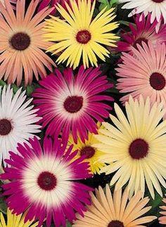 Livingstone Daisy, Ice Plant (Mesembryanthemum, Dorotheanthus) 'Gelato Mixture'