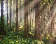Rays of Light in an Oregon forest