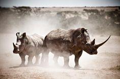 Fantastic Rhino shot taken at Solio Lodge, Laikipia, Kenya. www.thesafaricollection.com