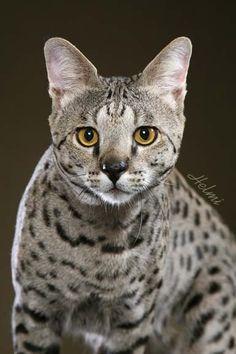 savannah-cat