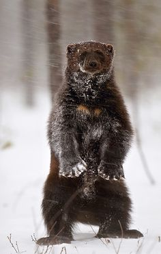 The threatened Wolverines generally occur at relatively low population densities & have vanished from most of their former range in the United States. Numbers have declined due to both fur trapping & hunting by those believing the wolverine to be a nuisance. Did you know these tough, rare animals store extra food in icy rock crevasses so they can have snacks later.