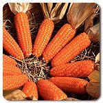 Organic Tom Thumb Popcorn