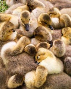 babi duck, bird, pet photography, baby ducks, sleeping babies, duck party, snuggl, baby animals, beautiful creatures
