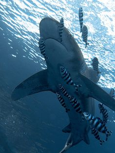 Oceanic white tip by Harava