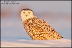 Snowy Owl (Bubo scandiacus). Photo by Glenn Bartley.