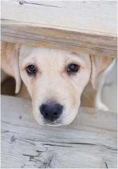 anim, dogs, dog photos, puppy dog eyes, puppy face, lab puppies, labrador puppies, labrador retrievers, yellow lab